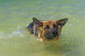 German shepherd in the ocean shaking his head Royalty Free Stock Image