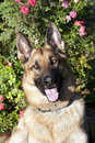 German Shepherd Outdoor Portrait Stock Photos