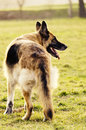 German shepherd in the park Royalty Free Stock Photos