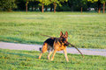 German shepherd playing beautiful with wooden stick Stock Image