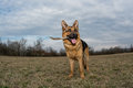 German shepherd playing young dog Royalty Free Stock Photography