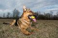German shepherd playing young dog Royalty Free Stock Images