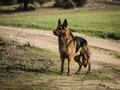 German shepherd posing dog purebred in nature Royalty Free Stock Photo