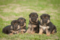 German shepherd puppies Stock Photography