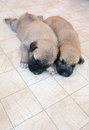 German Shepherd puppies sleeping on the tile Royalty Free Stock Photo