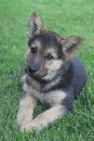 German shepherd puppy adorable female laying in the grass Royalty Free Stock Photos