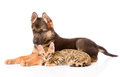 German shepherd puppy and bengal kitten lying in profile. isolated Royalty Free Stock Photo