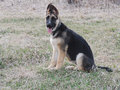 German shepherd puppy on grass dog sitting with one ear up and one half folded toward the center of her head Stock Images