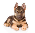 German Shepherd puppy lying in front. isolated on white Royalty Free Stock Photo
