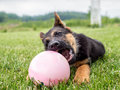 German shepherd puppy playing with ball Royalty Free Stock Photo