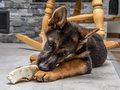 German shepherd puppy playing with pet toy on the floor Royalty Free Stock Images
