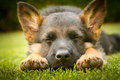 German shepherd puppy sleeping on a warm summer day on a warm summer day Royalty Free Stock Photo