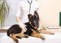 German shepherd puppy Royalty Free Stock Photo