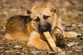 German shepherd puppy a week old gnawing on a stick Royalty Free Stock Image