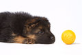 German shepherd puppy with yellow ball Royalty Free Stock Image