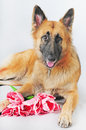 German shepherd relaxing Stock Photo