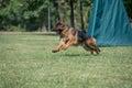German Shepherd Running Through the Grass