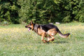 German shepherd runs through the grass Royalty Free Stock Photo