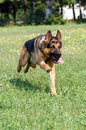 German shepherd sheperd run through the grass Stock Image