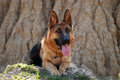 German shepherd sit and listen carefully Stock Photos