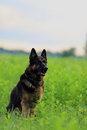 German shepherd sitting alone in the field Royalty Free Stock Photos