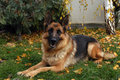 German shepherd sitting in the garden Stock Photo