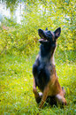 German Shepherd sitting in the park. Royalty Free Stock Images