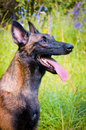 German Shepherd sitting in the park. Royalty Free Stock Photo