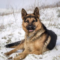 German shepherd in snow dog Royalty Free Stock Images