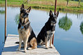 German shepherds on dock pair of a pond Royalty Free Stock Photography