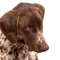 German short hair pointer close up looking down isolated on white Royalty Free Stock Image