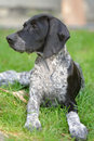 German short haired pointer Stock Image