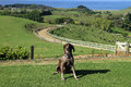 German short haired pointer dairy farm new zealand Stock Photo