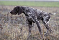German short haired pointing dog shorthaired pointer hunting is carefully Royalty Free Stock Images
