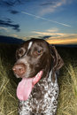 German Shorthaired Pointer. Stock Image