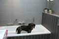 German shorthaired pointer in a bathtub Royalty Free Stock Photo