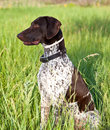 German shorthaired pointer dog Stock Image