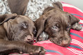 German shorthaired pointer puppies week old gsp gsp are excellent hunting dogs and also make popular pets for energetic owners Stock Photos