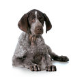 German shorthaired pointer puppy laying down isolated on white background weeks old Royalty Free Stock Photos