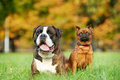German tiger boxer dog and petit brabancon griffon Stock Photo