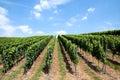 German vineyard green lines of wine in a in germany Stock Photo