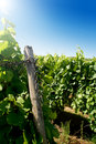 A german vineyard near the rhe Royalty Free Stock Photo