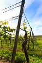 German vineyard near the rhein river Royalty Free Stock Photography