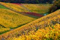 German winery hills inside a in autumn colors Stock Image