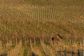 German winery hills inside a in autumn colors Royalty Free Stock Photos