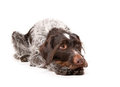 German wire-haired pointer Royalty Free Stock Image
