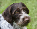 German wirehaired pointer close up portrait of a Royalty Free Stock Photo
