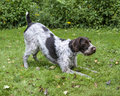 German wirehaired pointer portrait of a Royalty Free Stock Photography