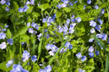 Germander speedwell nature background of close up at meadow Stock Image