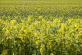 Germany, Bavaria, Rape field (Brassica napus) Royalty Free Stock Photo
